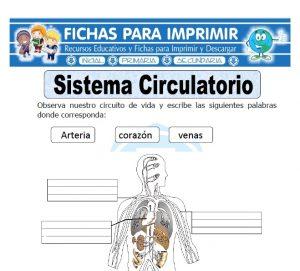 sistema circulatorio para primaria