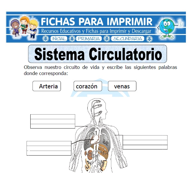 Ficha de Sistema Circulatorio para Primaria  Fichas para Imprimir