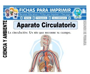Ficha aparato circulatorio Segundo de Primaria