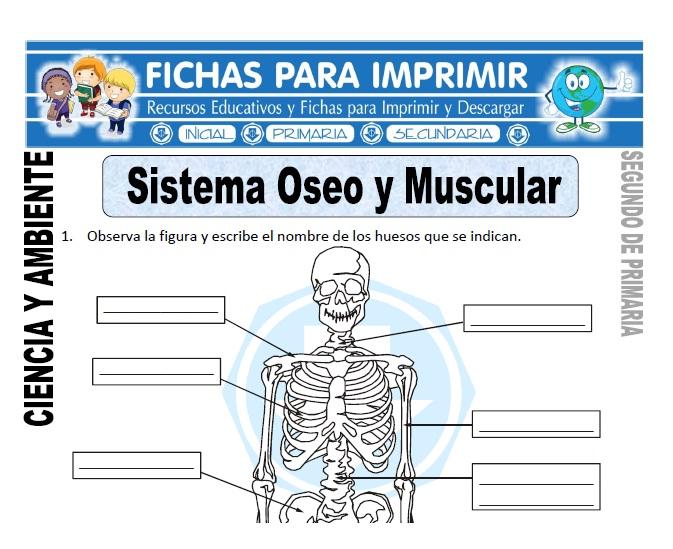 Ficha sistema oseo y muscular Segundo de Primaria