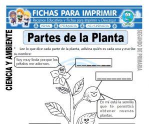 Partes de la Planta para Segundo de Primaria