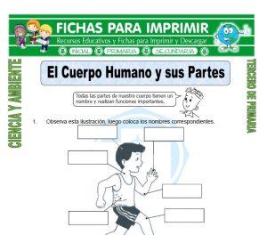 ficha de El Cuerpo Humano y sus Partes para Tercero de Primaria