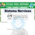 Sistema Nervioso para Tercero de Primaria