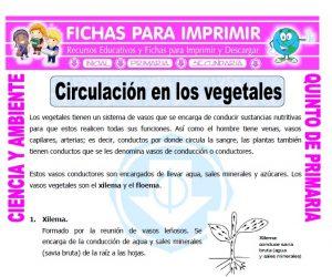 Ficha de Circulación en los Vegetales para Quinto de Primaria
