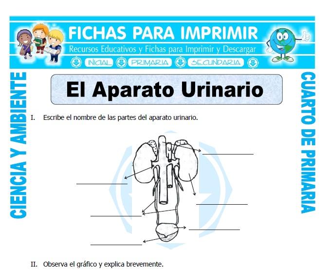ficha de El Aparato Urinario para Cuarto de Primaria