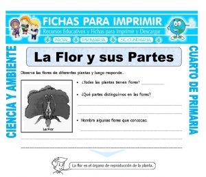 ficha de La Flor y sus Partes para Cuarto de Primaria