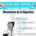 Mecanismo de la Digestionpara Cuarto de Primaria
