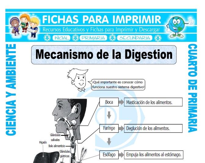 ficha de Mecanismo de la Digestion para Cuarto de Primaria