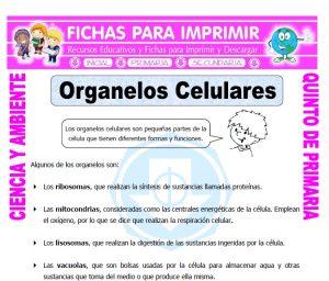 Ficha de Organelos Celulares para Quinto de Primaria