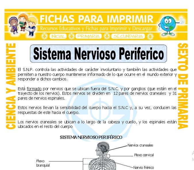 Ficha de Sistema Nervioso Periferico para Sexto de Primaria
